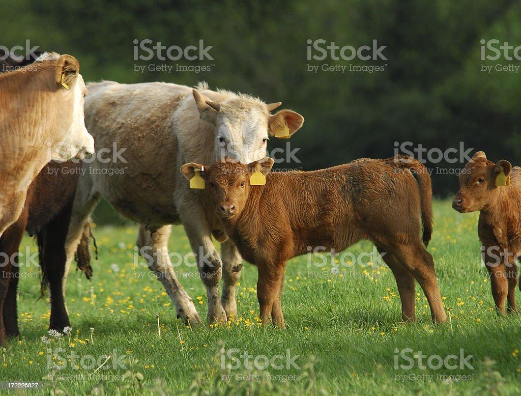 Calf & Cows, Devon #1 stock photo
