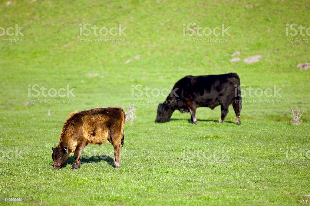 A calf and cow grazing on grass in Marin County California