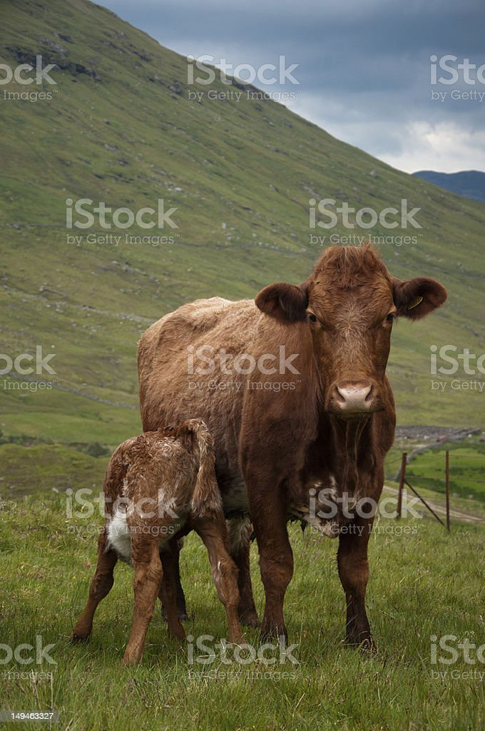 Calf and cow royalty-free stock photo