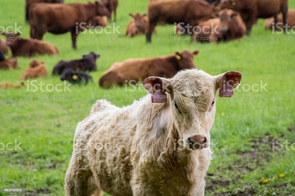 Calf and cows on pasture foto de stock royalty-free