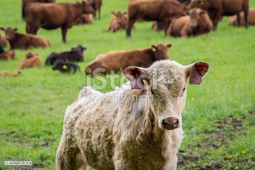 Calf And Cows On Pasture - Fotografias de stock e mais imagens de Agricultura