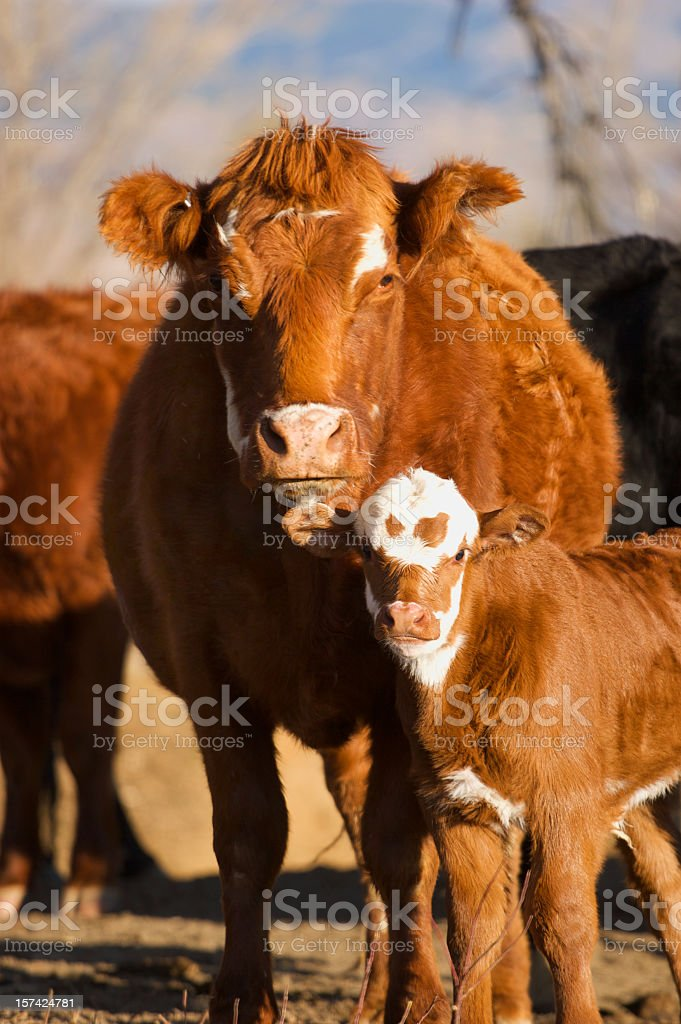 Calf and its Mother royalty-free stock photo