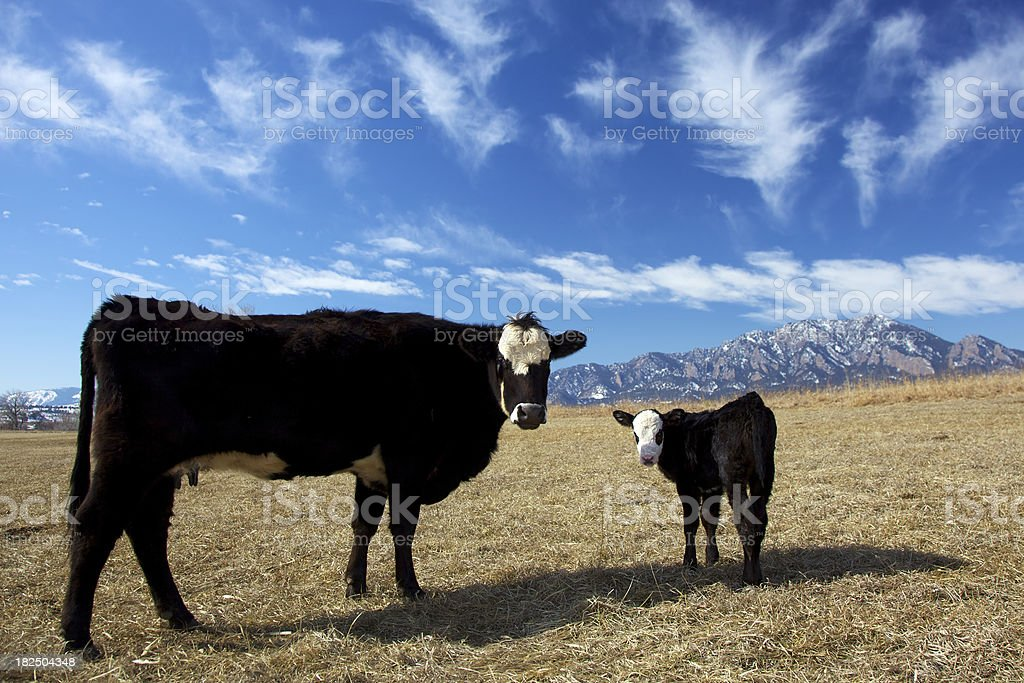 Calf and its mother stock photo