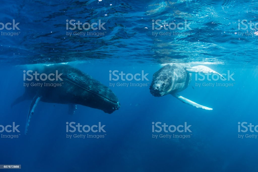 Calf and Mother Humpback Whales stock photo