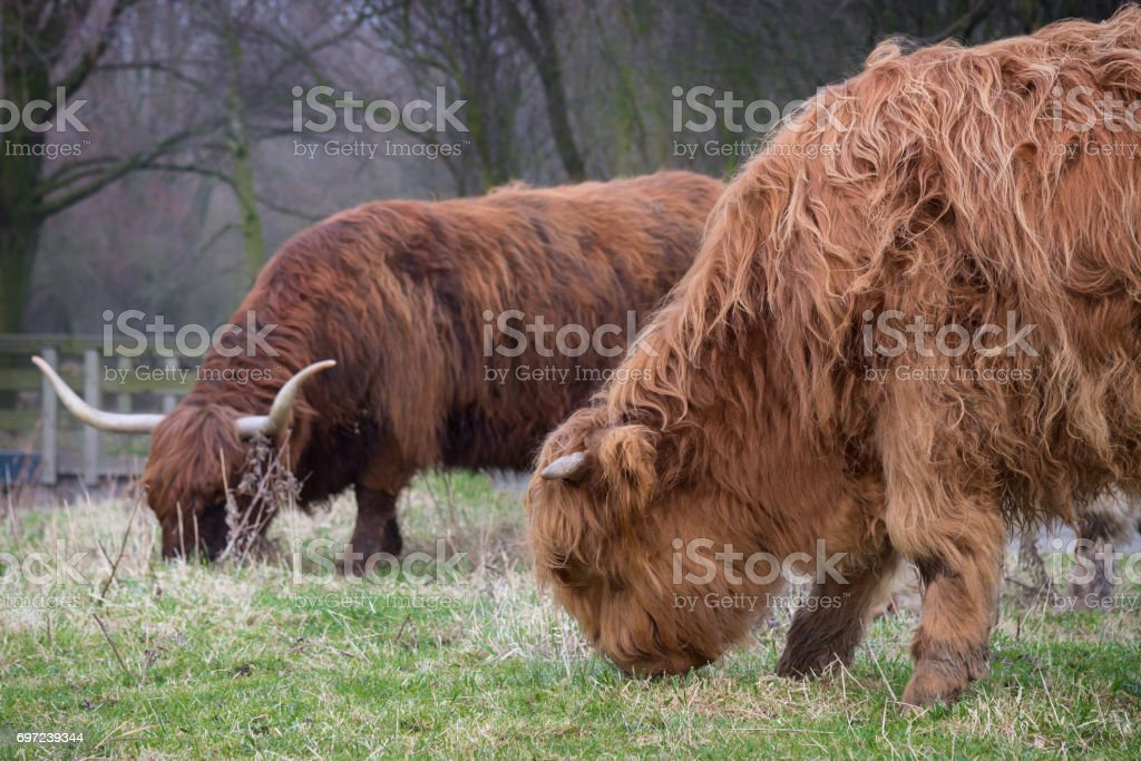 Calf and mother of Scottish Highland cattle. Horned Highland Cattle grazing on the grass near the pond. Close up of scottish highland cow on european meadow. Long haired brown young highland cattle stock photo