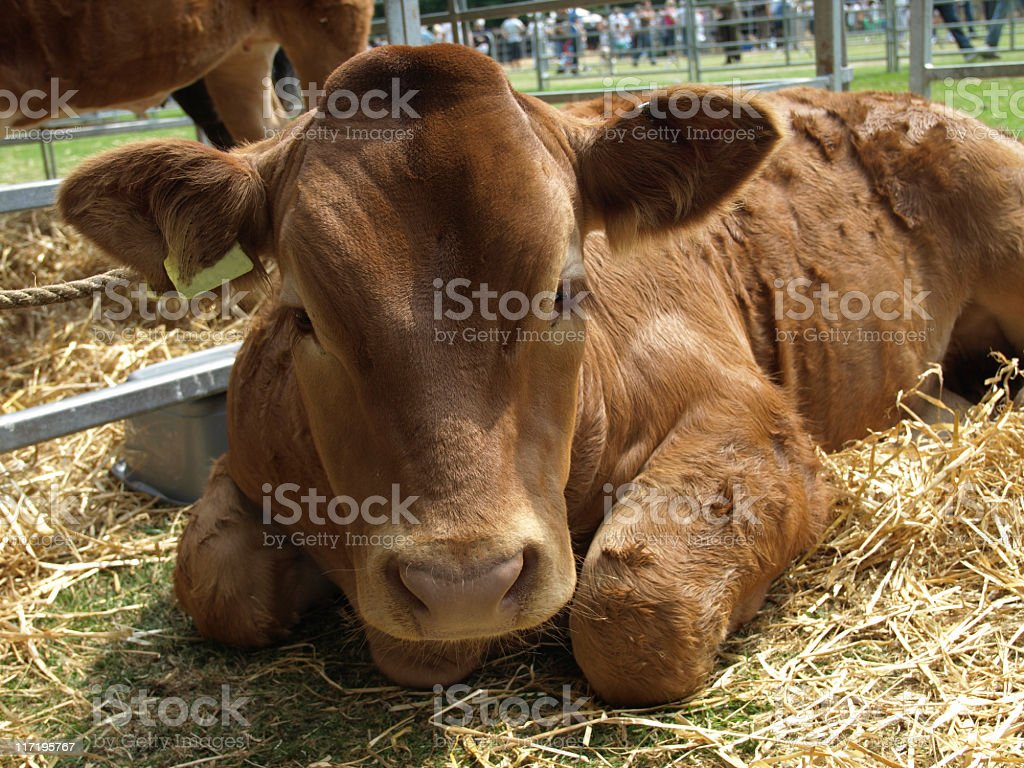 Calf at an Agricultural Show royalty-free stock photo
