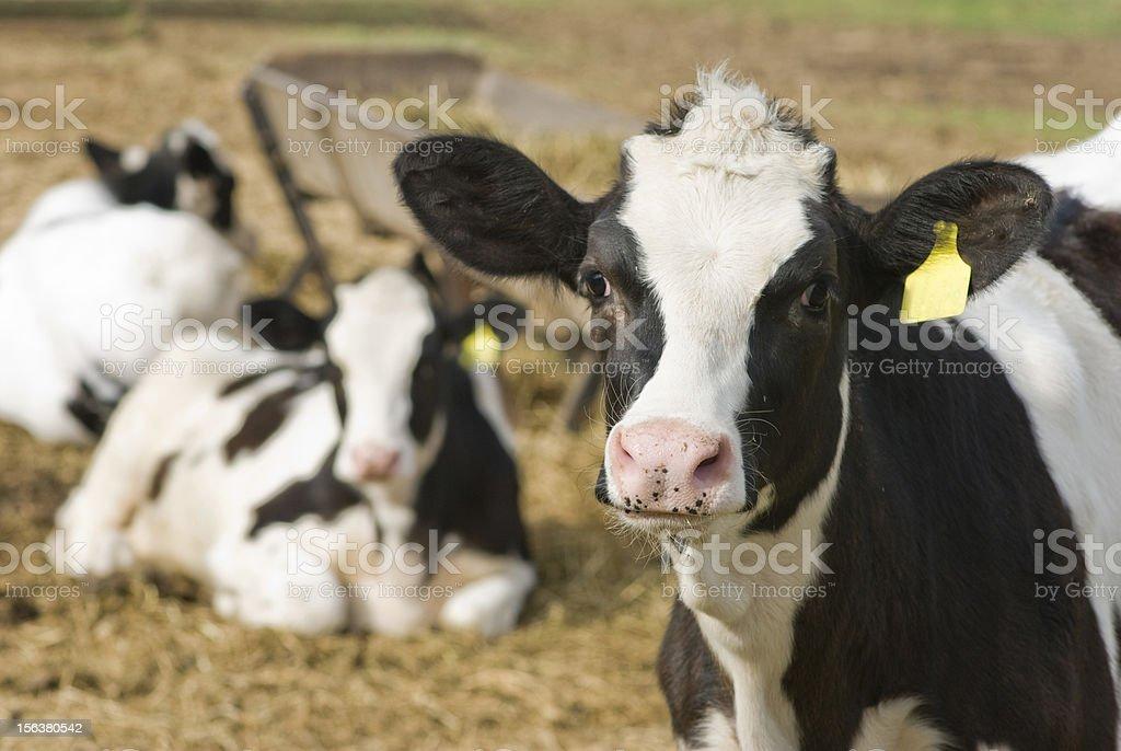 Calf close up royalty-free stock photo