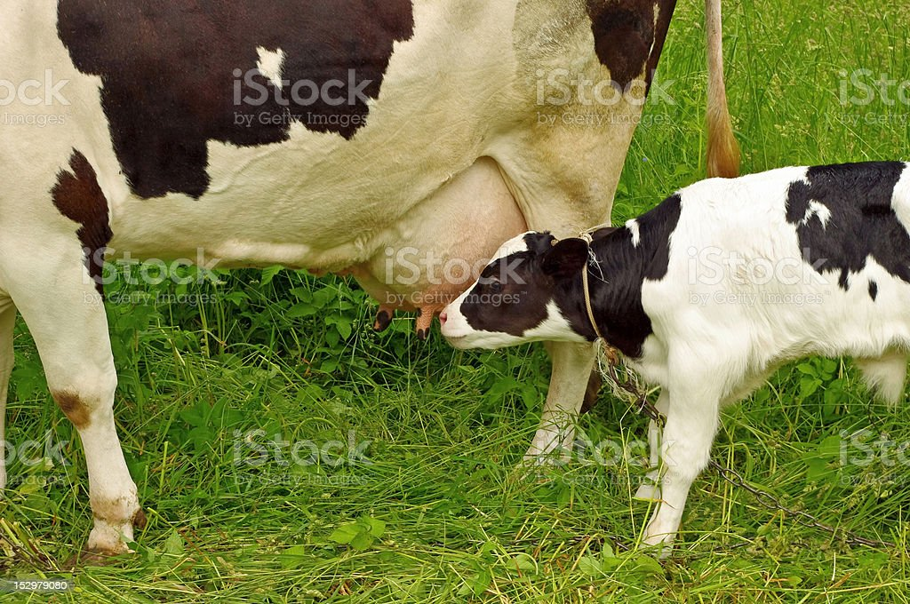 Calf cow feeding on green grass stock photo