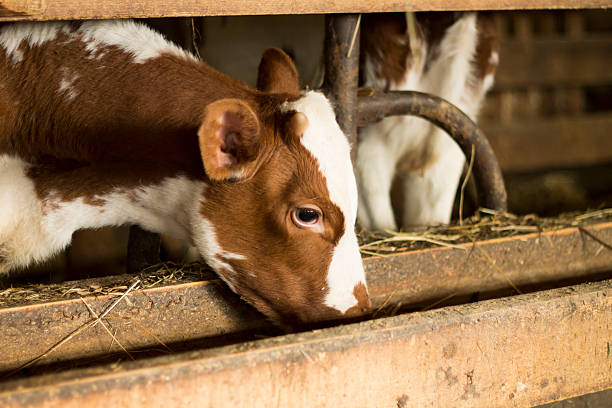 calf essen aus dem polo-shirt - etagenbett weiss stock-fotos und bilder