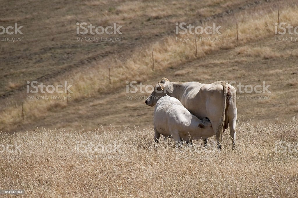 Calf Feeding From Mother stock photo