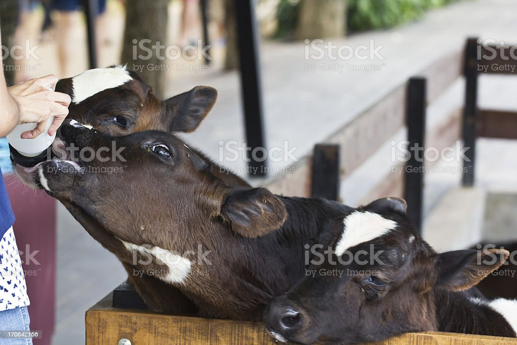 Calf feeding royalty-free stock photo