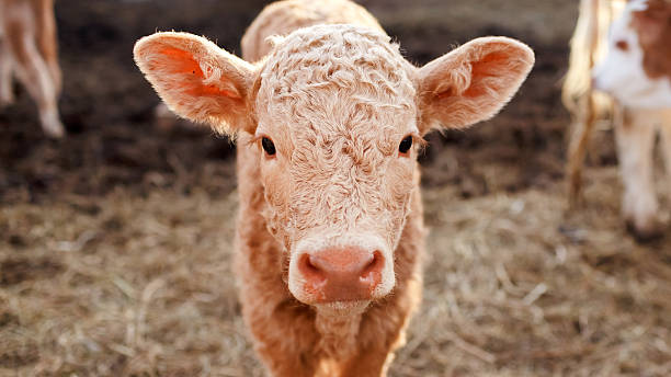 Calf in a corral close up stock photo