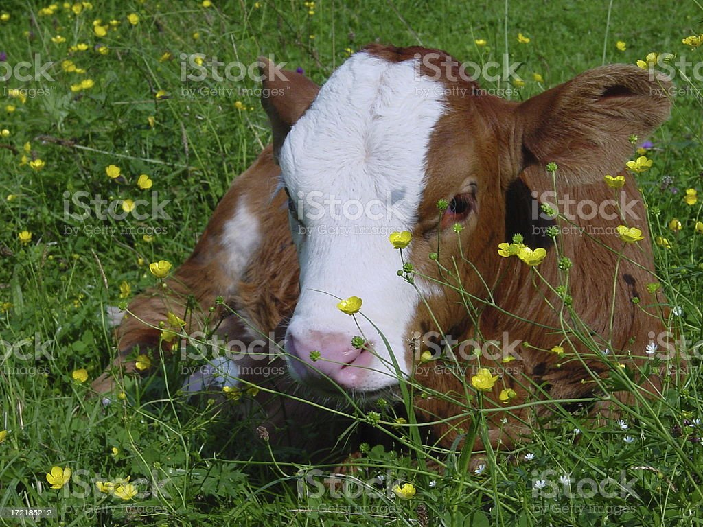 Calf in a field royalty-free stock photo