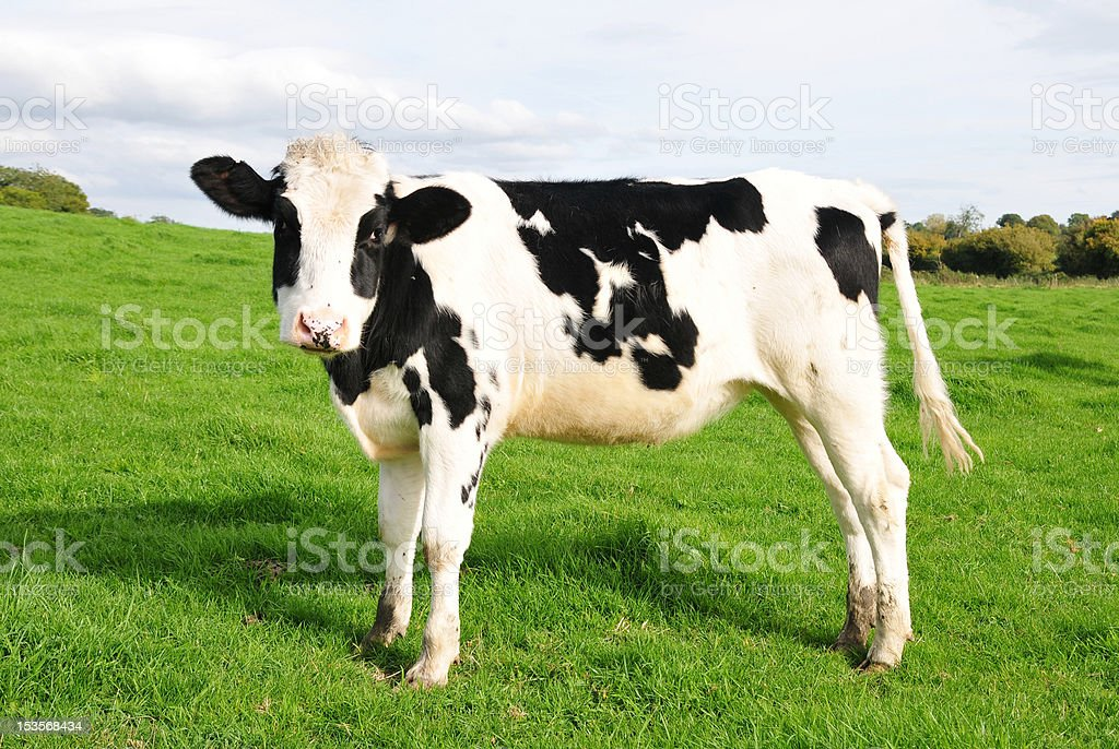 Calf in a Green Field royalty-free stock photo