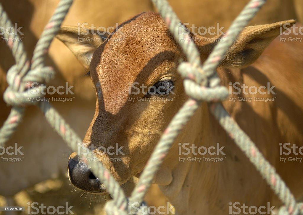 Calf in captivity royalty-free stock photo