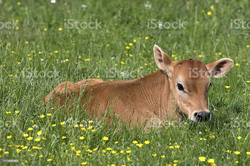Calf in field royalty-free stock photo