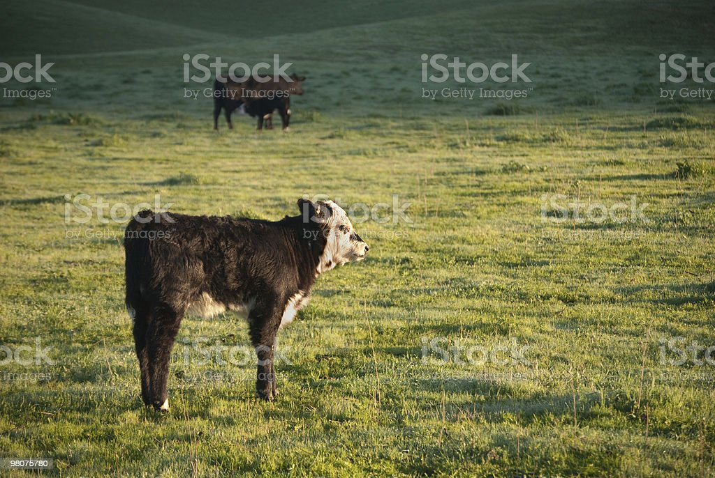 calf in green field royalty-free stock photo
