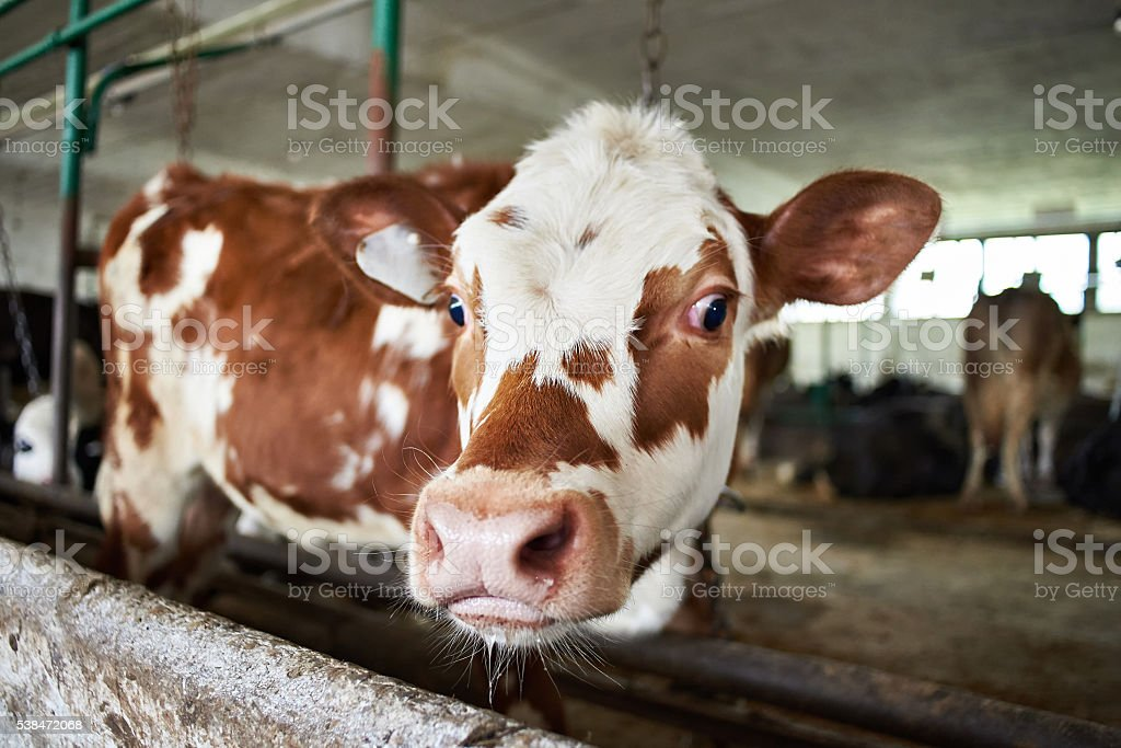 Calf in stalls at dairy farm stock photo