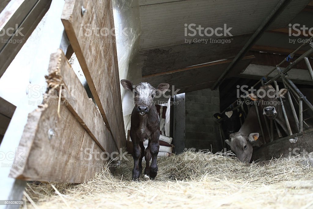 calf in the barn with hay royalty-free stock photo