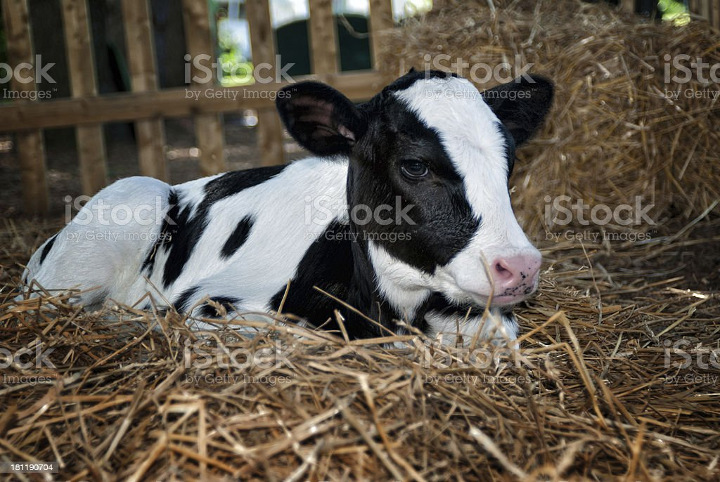 Calf laying in straw at a Pennsylvania Dairy farm. stock photo