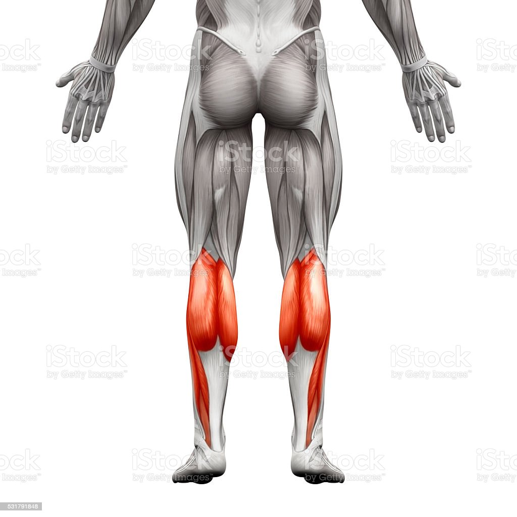 Calf muscle male gastrocnemius plantar anatomy muscle stock photo calf muscle male gastrocnemius plantar anatomy muscle royalty free stock photo pooptronica