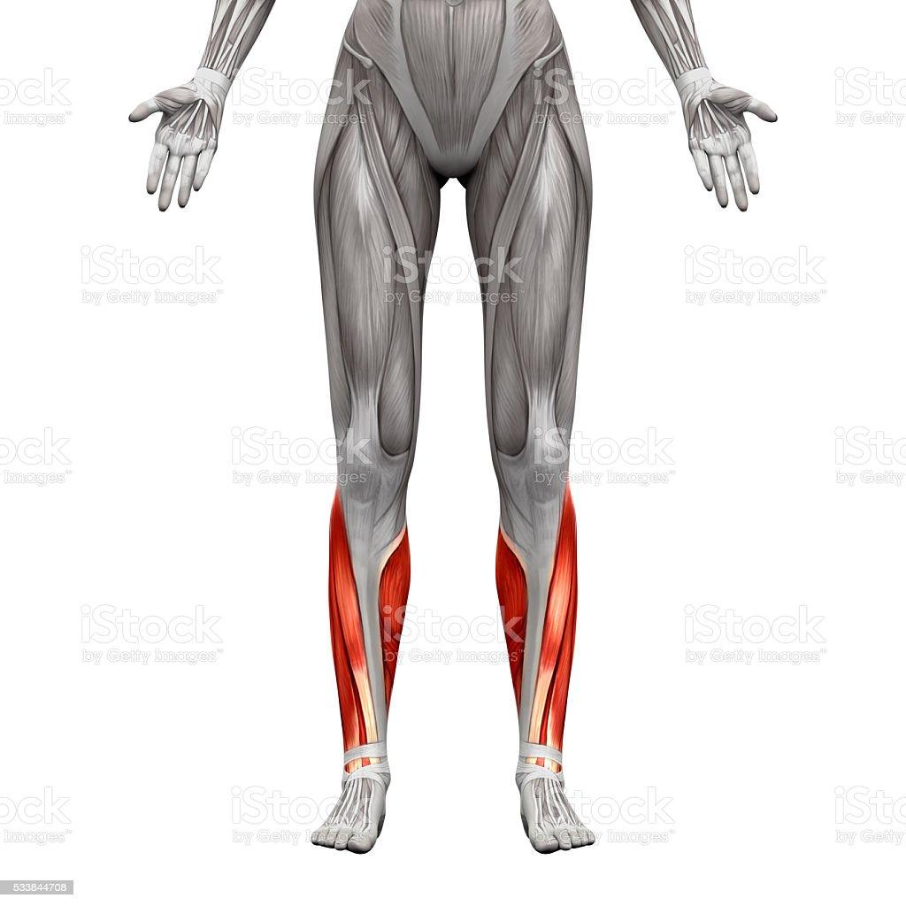 Fotografía de Pantorrilla Los Músculos De Anatomía Músculos Aislado ...