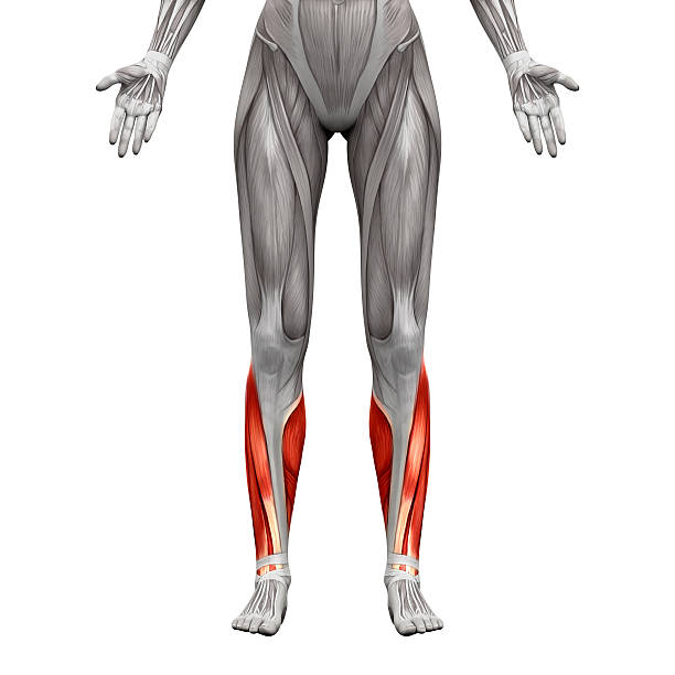 Royalty Free Tibialis Anterior Muscle Pictures Images And Stock