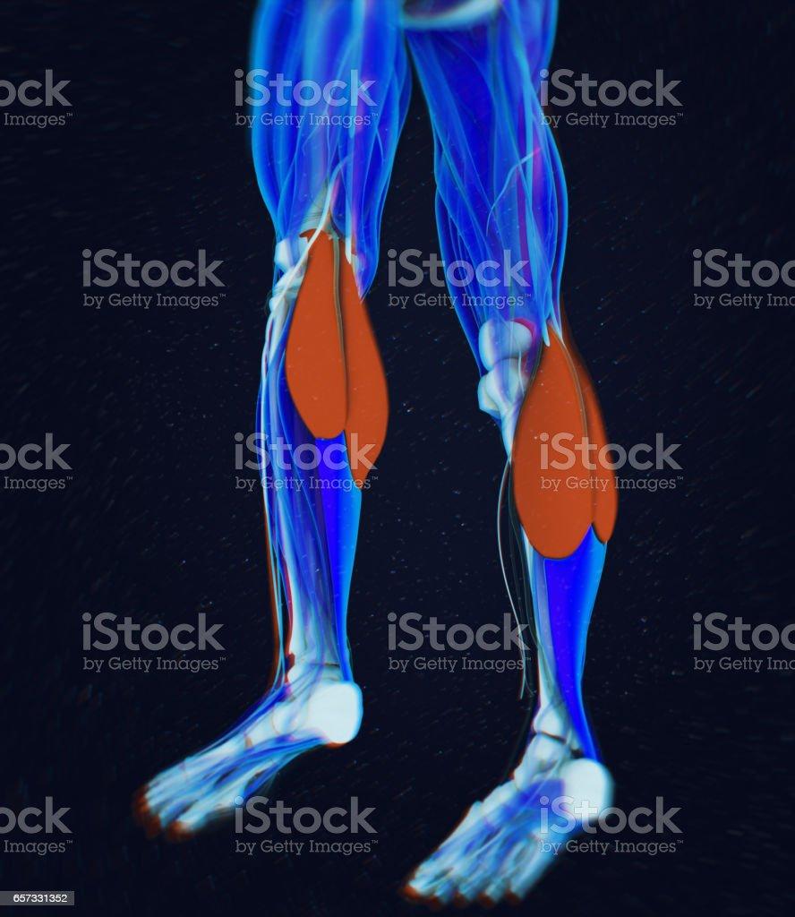 Fotografía de Músculos De La Pantorrilla Anatomía Humana ...