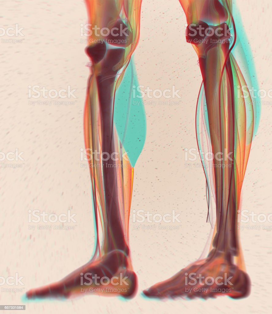 Calf Muscles Human Anatomy Gastrocnemius 3d Illustration Stock Photo