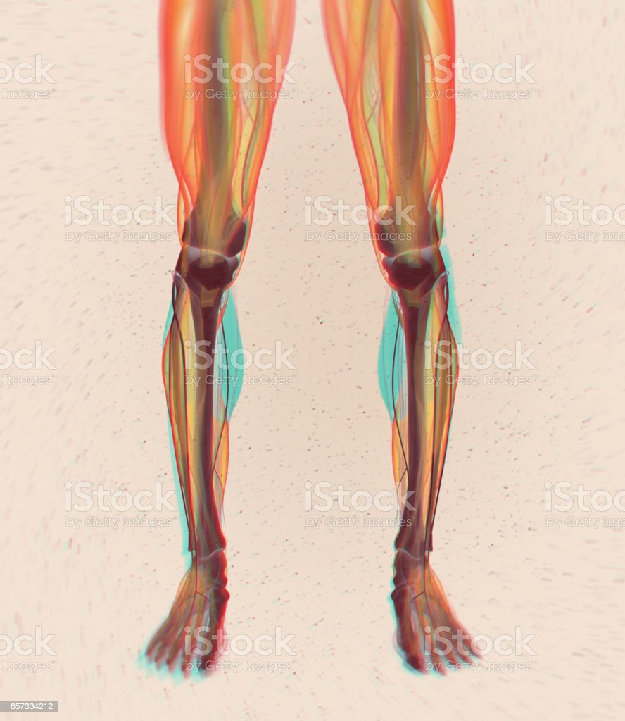 Calf Muscles Human Anatomy Gastrocnemius 3d Illustration Stock Photo ...
