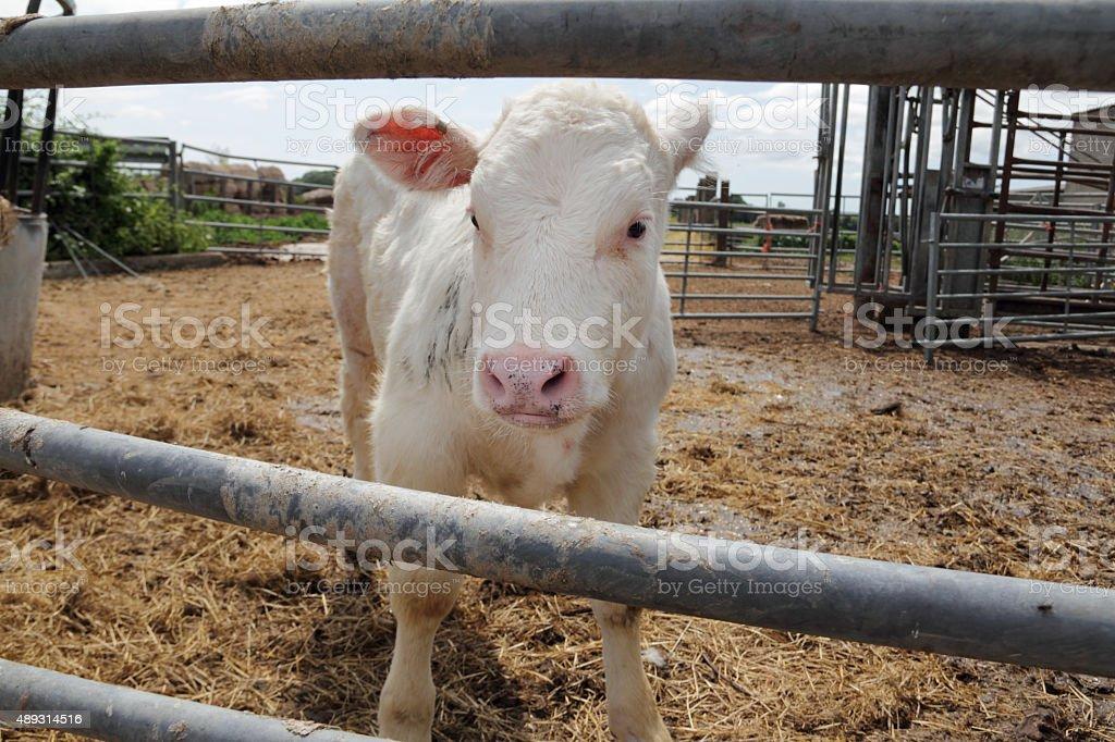 calf on a farm stock photo