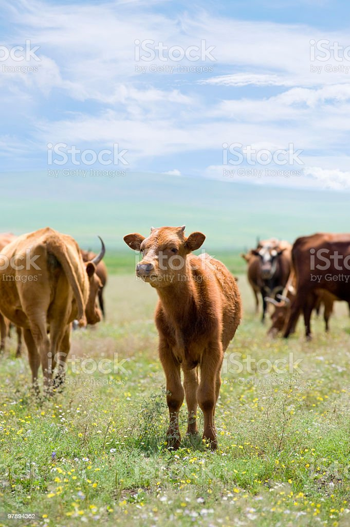 calf on summer meadow royalty-free stock photo
