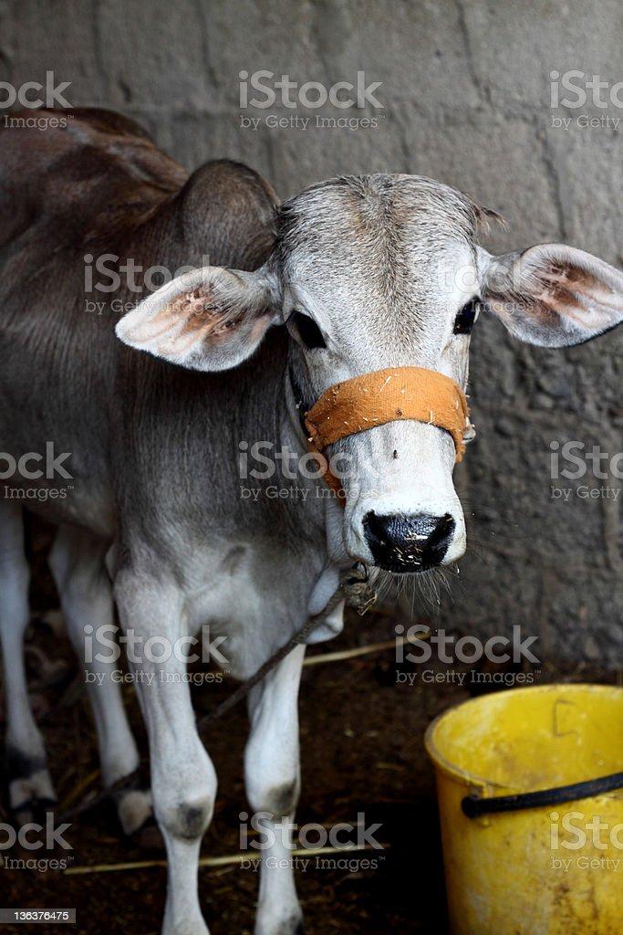 Calf royalty-free stock photo