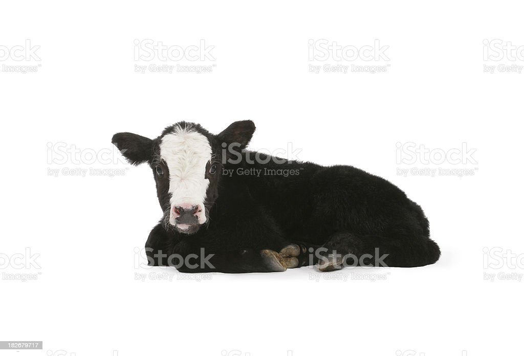 Calf stock photo