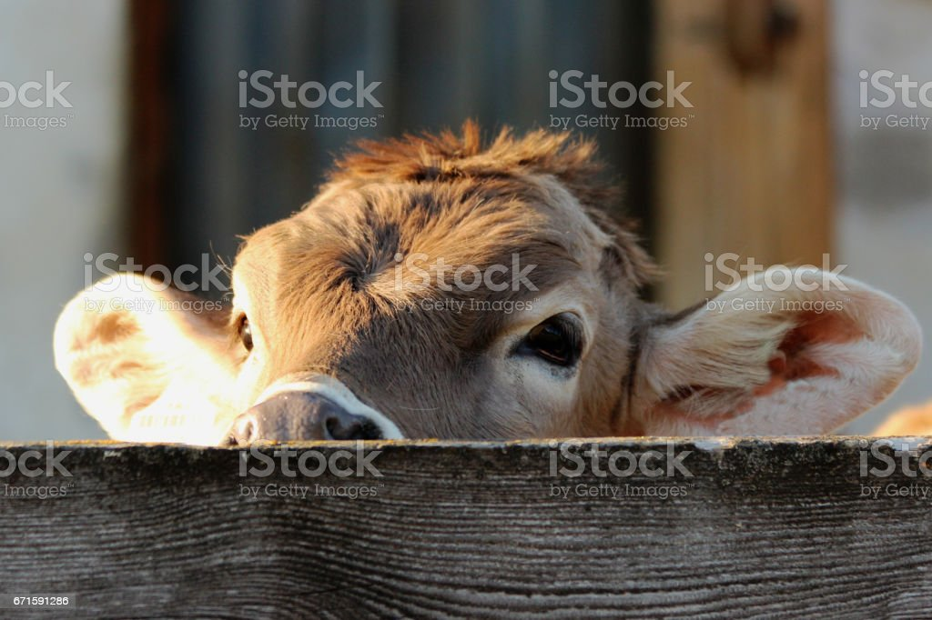 kalb stock photo