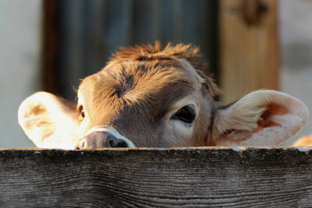 kalb - cow stock photos and pictures