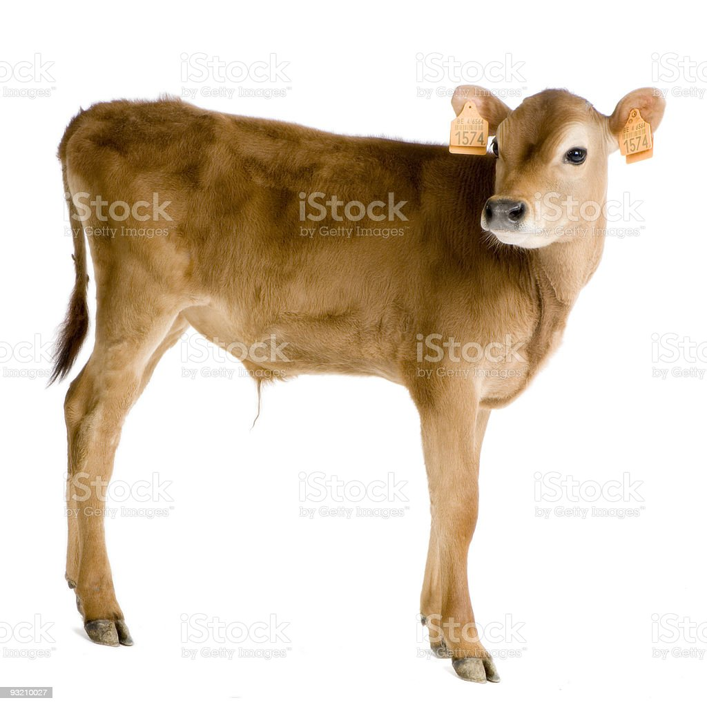 Calf (45 days) stock photo