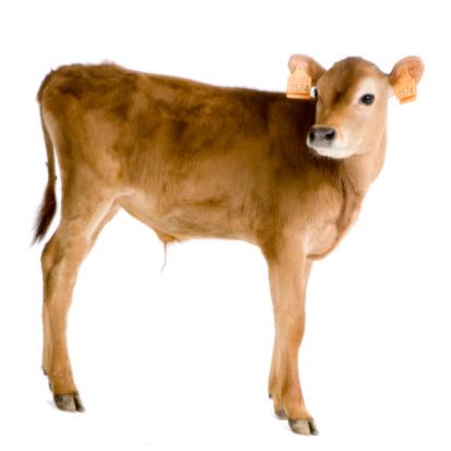 Calf 45 Tage Stockfoto und mehr Bilder von Agrarbetrieb