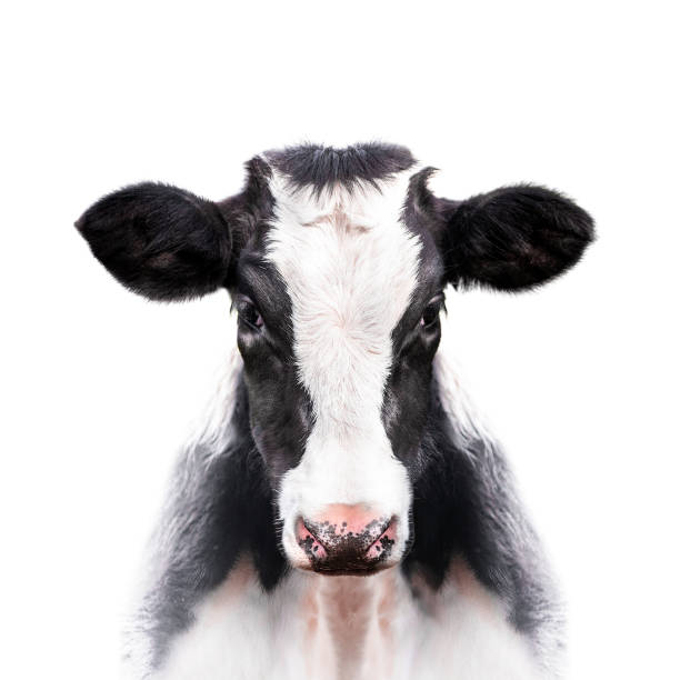 calf portrait isolated on white background calf portrait isolated on white background cow stock pictures, royalty-free photos & images