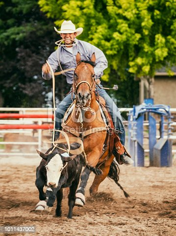 A cowboy on a horse practices calf roping in Utah, USA.