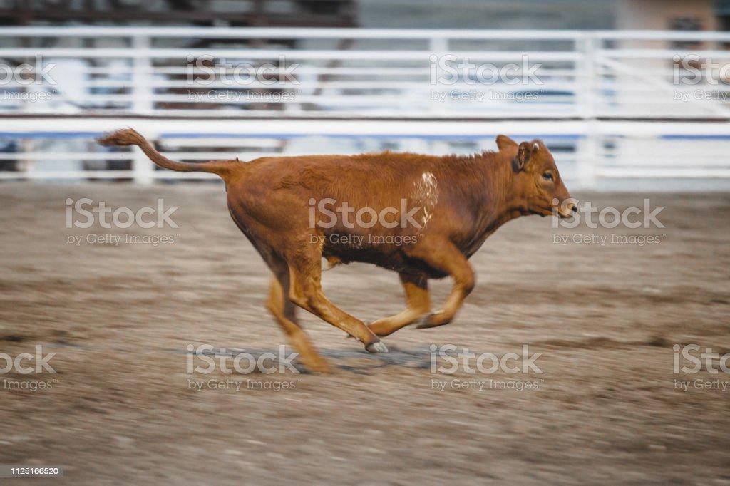 Calf Roping Running Rodeo Animal - Royalty-free Animal Stock Photo
