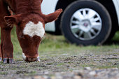 Calf searches for fodder on barren ground, camper stands in the background.