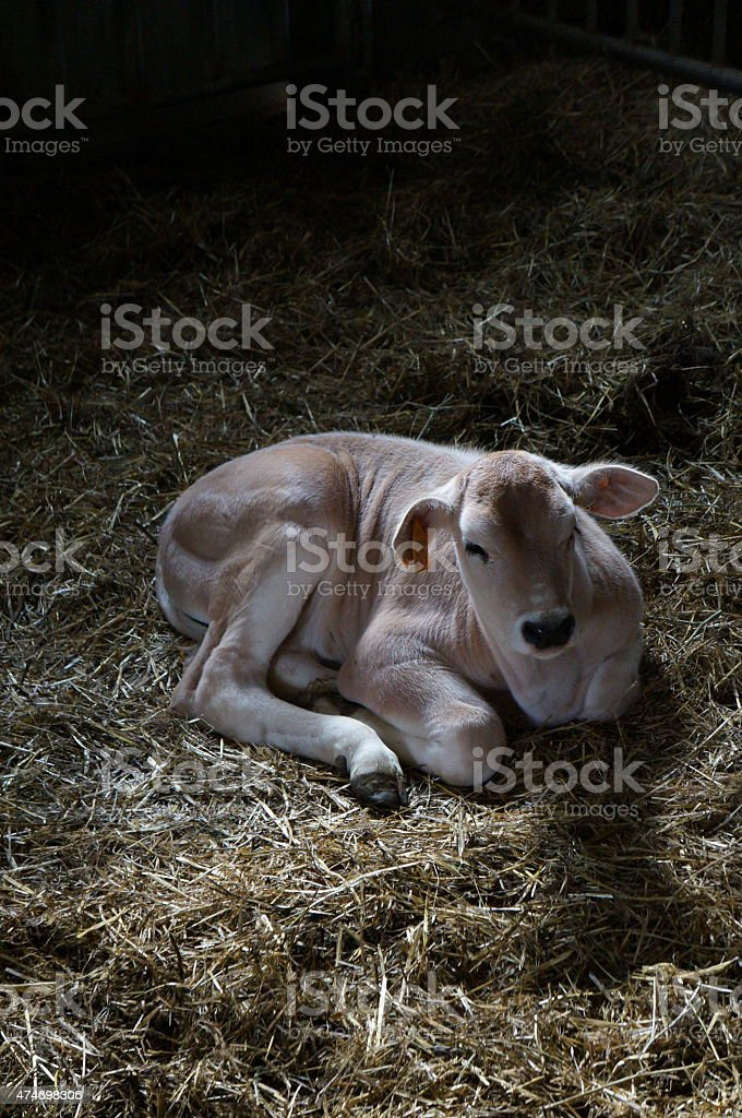Calf sleeping in hay stock photo
