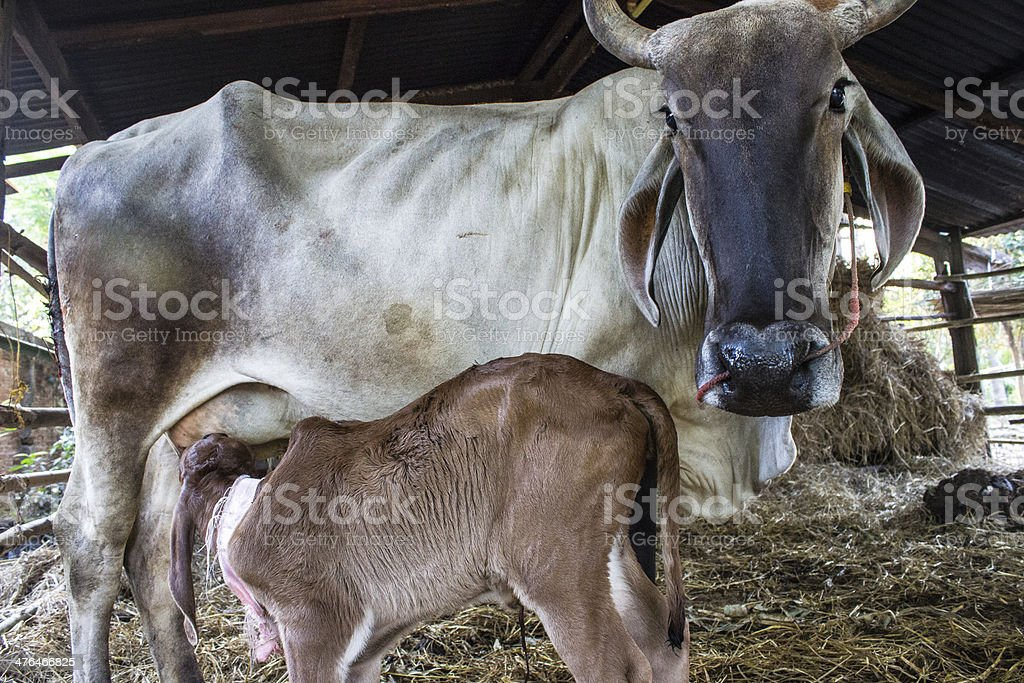 calf suckling royalty-free stock photo