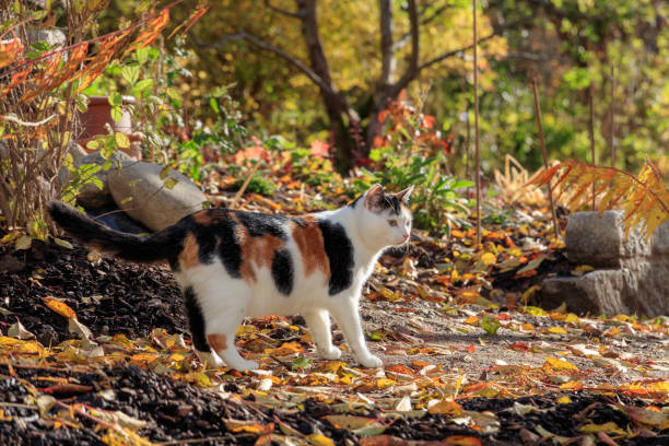 Calico cat and Autumn leaves stock photo