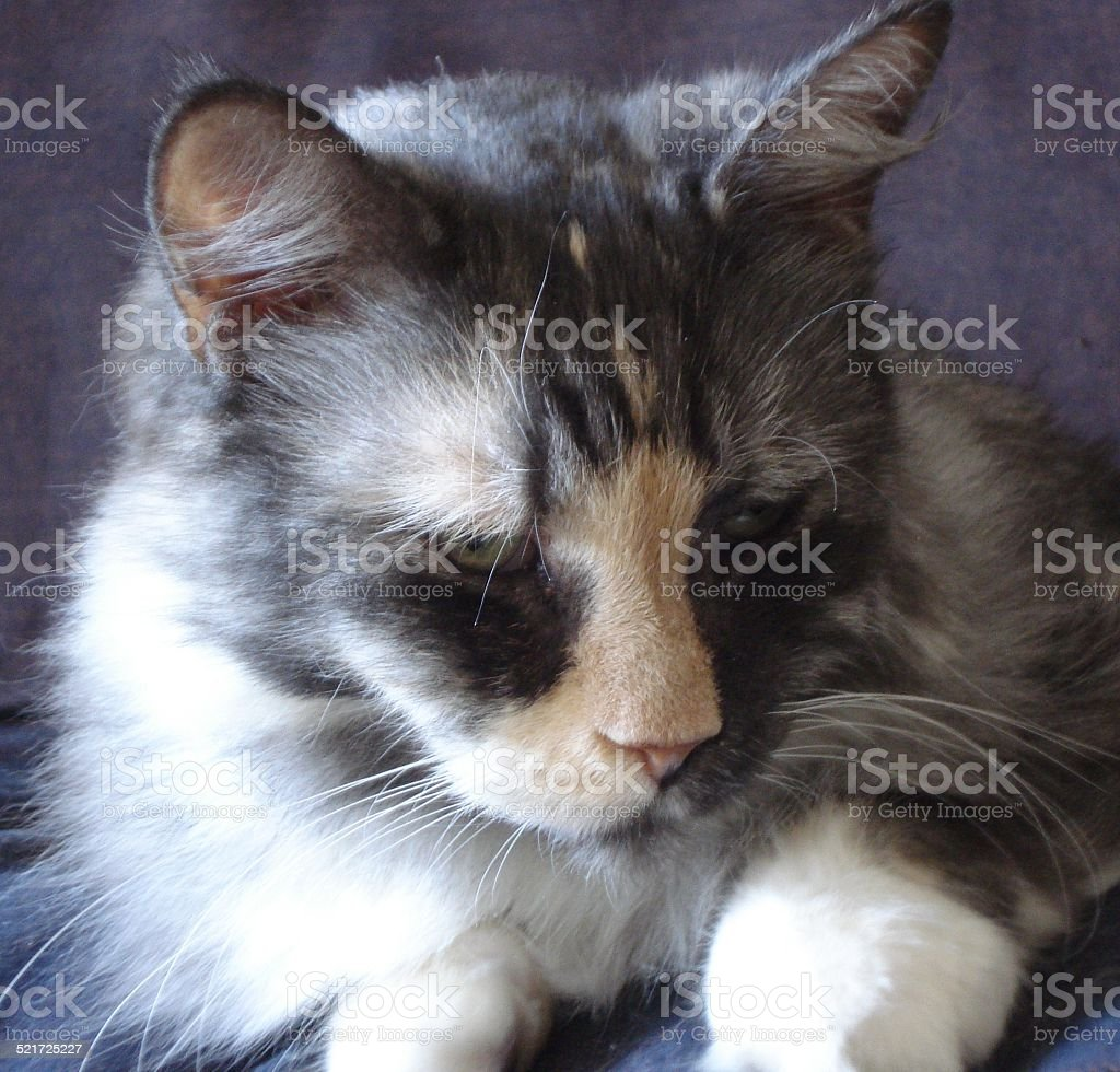 Calico Cat Contentment stock photo