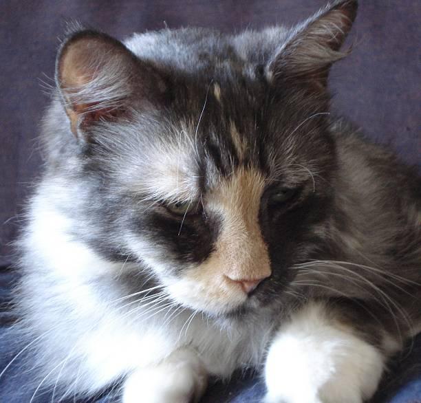 Calico Cat Contentment stock photo