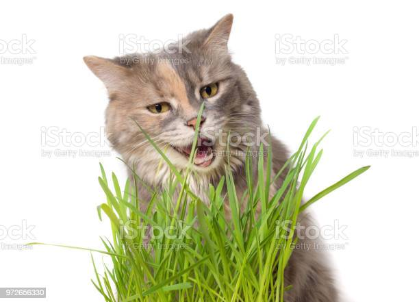 Calico cat eating cat grass picture id972656330?b=1&k=6&m=972656330&s=612x612&h=gbwy4njfdyjsazmfuiz9qsesqhdmme8dp 9y yigf1q=