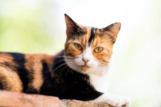 Calico cat face closeup outside green garden lying on brick wall picture id1052337592?b=1&k=6&m=1052337592&s=612x612&w=0&h=fykon9hglgnd5xy0drieyiney3r0r plsimezcqnghc=