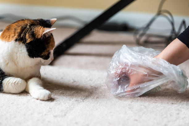 Calico cat face looking funny humor at mess on carpet inside indoor house home with hairball vomit stain and woman owner cleaning picking up with plastic bag Calico cat face looking funny humor at mess on carpet inside indoor house home with hairball vomit stain and woman owner cleaning picking up with plastic bag tortoiseshell cat stock pictures, royalty-free photos & images
